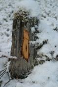 Ein stubbe med god ved til tjærrabrenning. Denne er frå Målselv og er ikkje dei som Sverre Opdahl brukte. Slike gamle stubbar kan gjerne vere frå 50 -100 år gamle og all geiveden er råtna bort. Foto: Roald Renmælmo