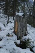 Ein stubbe med god ved til tjærrabrenning. Denne er frå Målselv og er ikkje dei som Sverre Opdahl brukte. Foto: Roald Renmælmo